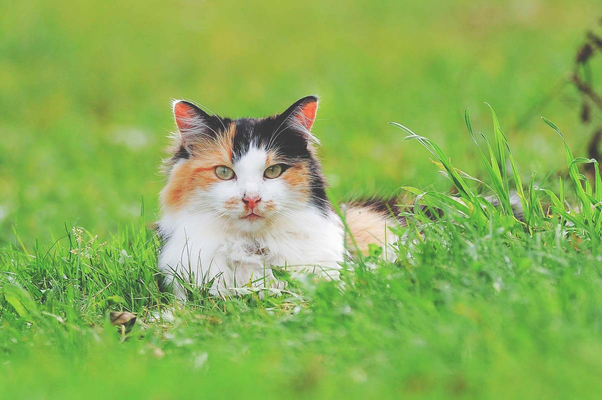 Tri-colored cat laying in a grassy field