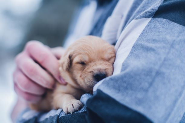 Tiny puppy snuggling to sleep in owner's arms