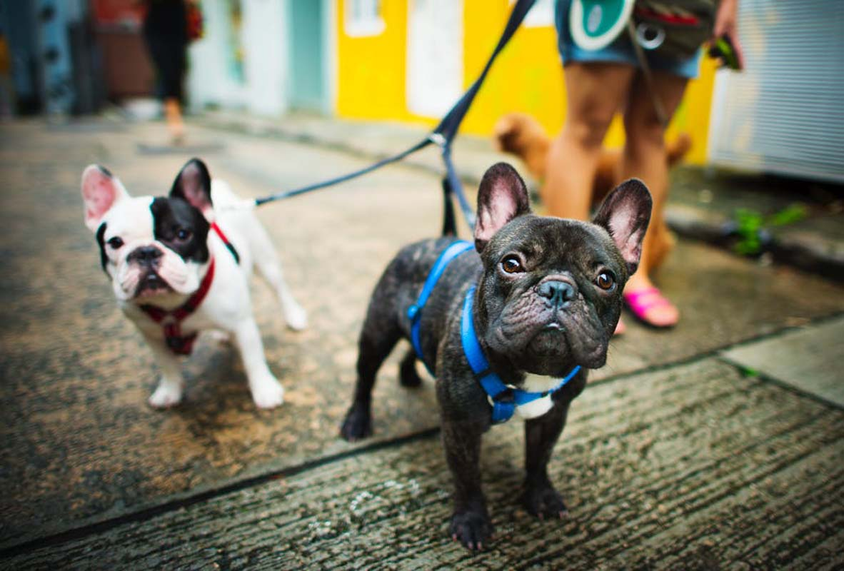 Two French bull dogs on a leash