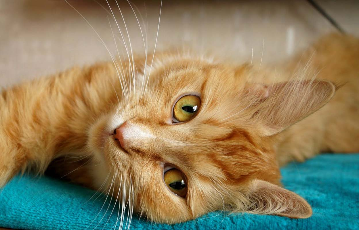 Orange cat lying down on blankets