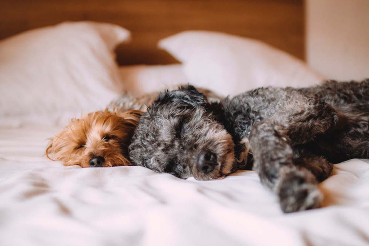 Two curly-haired dogs laying on a bed