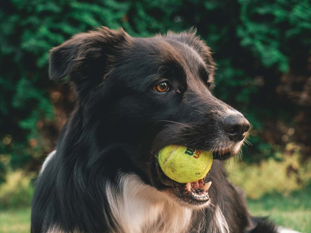 Collie with a tennis ball standing outside